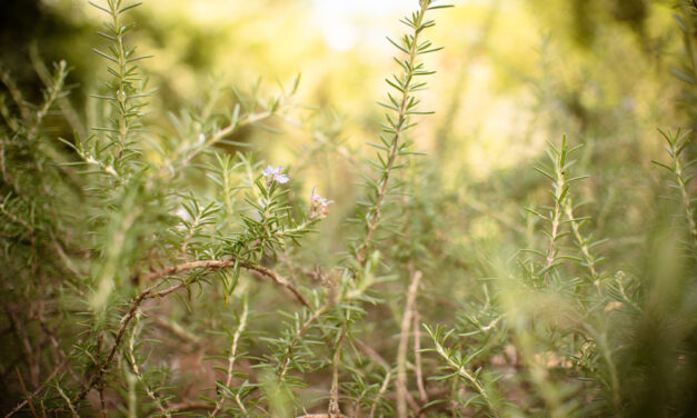 Givaudan's approach to sustainably sourcing rosemary